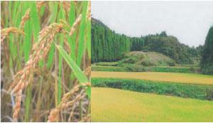 原料の米、有機農法栽培